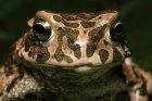 Bufotes viridis - ropucha zielona