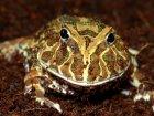 Ceratophrys cranwelli - Żaba rogata