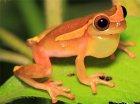 Dendropsophus bifurcus
