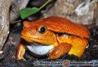Dyscophus antongilii - żaba pomidorowa*