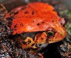 Dyscophus guineti - Żaba pomidorowa