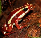 Epipedobates tricolor - Drzewołaz trójbarwny
