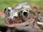 Kassina maculata - Afrykańska żaba biegająca