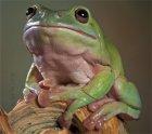Litoria caerulea - Rzekotka australijska