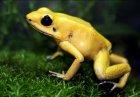 Phyllobates terribilis - Liściołaz żółty
